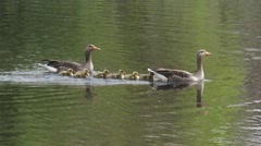 Greylag Goose (anser anser) with chicks swim across lake and out of frame Stock Footage
