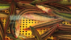 Live sea fish move in the yellow plastic tank at the market in Busan, Korea. Stock Footage