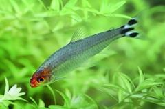 Rummy nose tetra Stock Photos