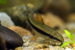 Siamese algae eater Stock Photos