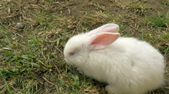Young white rabbit eating grass and see to camera - stock footage