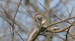 The female sparrow sitting on a branch and cleans feathers Stock Footage