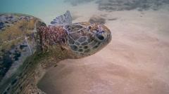 Green Turtle (Chelonia mydas) - stock footage