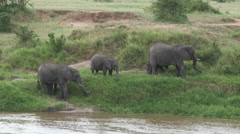 African elephants (Loxodonta africana) on Mara river bank Stock Footage