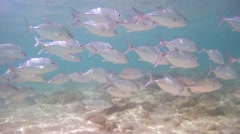 A large school of fish Bigeye trevally (Caranx sexfasciatus) Stock Footage