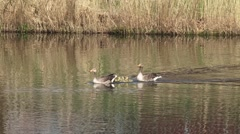 Greylag Goose (anser anser) with chicks swim across lake  - tracking shot Stock Footage