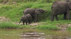 African Elephant (Loxodonta africana) family - stock footage