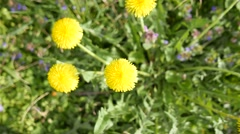 4K Taraxacum Officinale In Spring High Angle Stock Footage