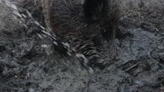 Wild boar in dirt Stock Footage
