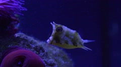 Lactoria cornuta aka longhorn cowfish in cph aquarium - stock footage