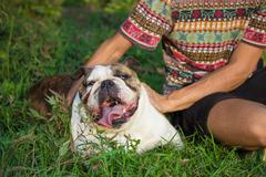 Close up owner petting his bulldog dog. Stock Photos