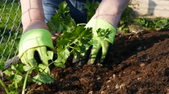 Planting young vegetable plant in raised garden bed, close up Stock Footage