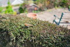 Stock Photo of Robin sitting on the hedge in a garden