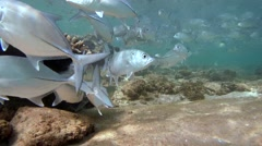 School of fish Bigeye trevally (Caranx sexfasciatus) Stock Footage