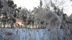 Dry reed on the river in the sunshine. Stock Footage