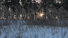 Winter reeds in the sun Stock Footage