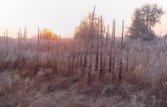 dry grass in the meadow near the woods covered with frost - stock photo