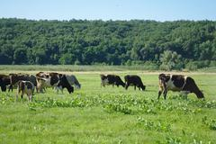 Cows on green grass in the summertime Stock Photos