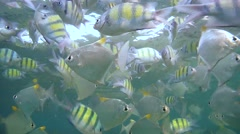 School of fish Indo-Pacific sergeant (Abudefduf vaigiensis) Stock Footage