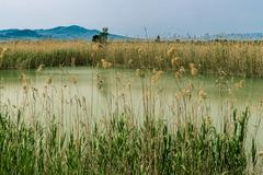 Thickets of reeds Stock Photos