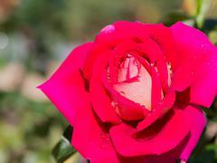 Delicate pink flower crimson roses Kuvituskuvat