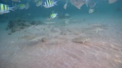 School of fish Silver sillago (Silago sihama) Stock Footage