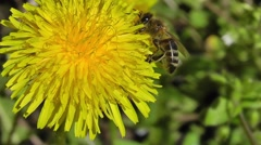 bee collects nectar and pollen from a flower dandelion - stock footage