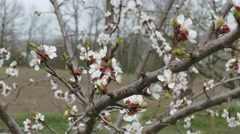 Apricot blooming in early spring Stock Footage