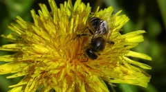 Bee collects pollen from a flower dandelion Stock Footage