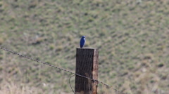 Mountain Blue Bird Perched on a Post - Male - stock footage