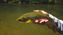 Brown Trout fishing Stock Footage