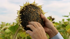 Stock Video Footage of Agronomist examining sunflower head in the field