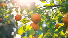 Hand picking an orange from a tree. Stock Footage