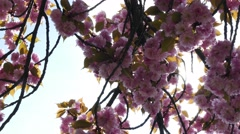 Sun rays coming out from pink cherry blossom of a Prunus Serrulata Kanzan tree Stock Footage