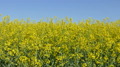 Agriculture, canola plant in spring - stock footage