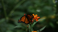 Monarch Butterfly, slow motion Stock Footage