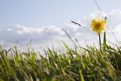 A daffodil - stock photo