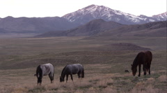 View of wild horses grazing before the sun rises. Stock Footage