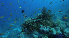 Colourful coral pinicle with many anthias - stock footage