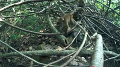Young toque macaque (Macaca sinica, endemic to Sri Lanka) Stock Footage