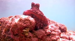 Octopus sits on a rock and hide in a hole, Indian Ocean, Hikkaduwa, Sri Lanka, Stock Footage