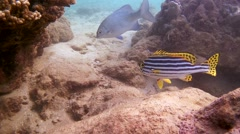Diagonal-banded sweetlips or Yellowbanded sweetlips (Plectorhinchus lineatus) Stock Footage