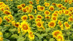 blooming flower of sunflower field in agriculture farm - stock footage
