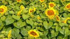blooming flower of sunflower field in agriculture fair - stock footage