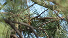 American Robin in a Tree Stock Footage