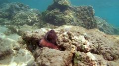 Red octopus (Octopus cyanea) Stock Footage