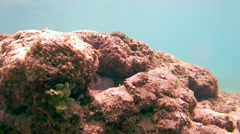 Cyane's octopus cautiously crawled out from his hiding place, Indian Ocean, Stock Footage