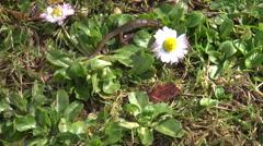 Triturus vulgaris crawling on meadow - stock footage
