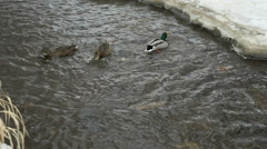 Ducks and drakes swim in the creek a cold winter Stock Footage