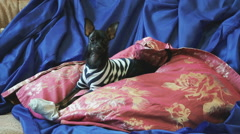 Dog toy-terrier barks and plays with a toy on sofa Stock Footage